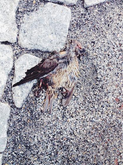 Mosad fågel liggandes på grus och gatsten