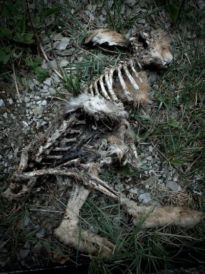 Skelett av hare