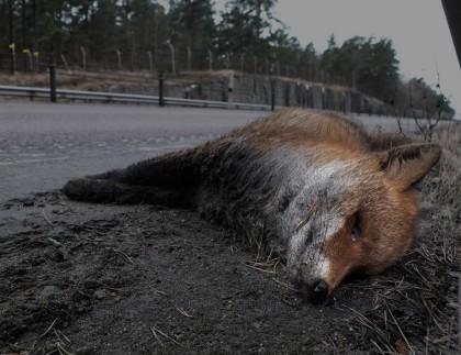 En död räv liggandes i vägkanten