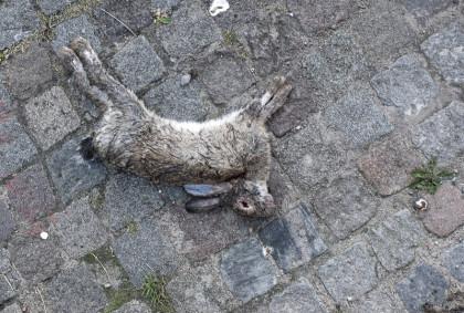 En död kanin som saknar sitt öga.