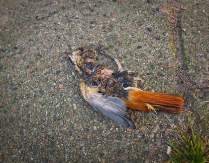 En krossad fågel på en trotoar
