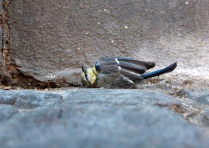 En liten fågel som vilar tungt på sin rygg