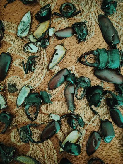 Döda ekoxar som samlats på ett bord.