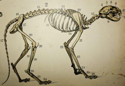 Anatomisk skiss på en katt.