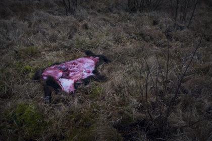 Uppfläkt vildsvin i naturskön miljö