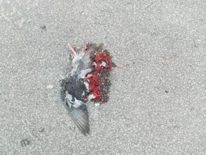 Mosad duva på en grå asfalt